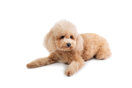 curly-haired poodle lying on the floor Stock Photo