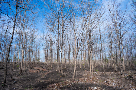 forrest without leaf in dry season