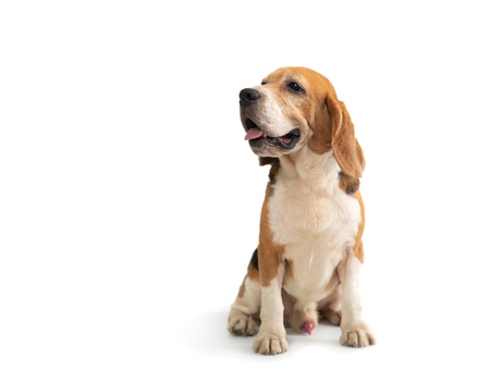 cute beagle sitting on the floor Stock Photo