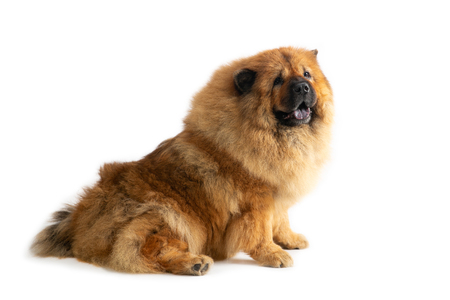 cute chow chow dog sitting on the floor with tongue sticking out Stock Photo