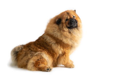 cute chow chow dog sitting on the floor Stock Photo
