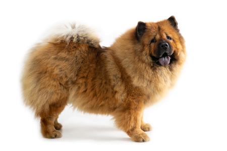 Lindo perro chow chow con lengua fuera
