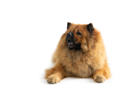 lazy chow chow dog sitting on the floor with tongue sticking out