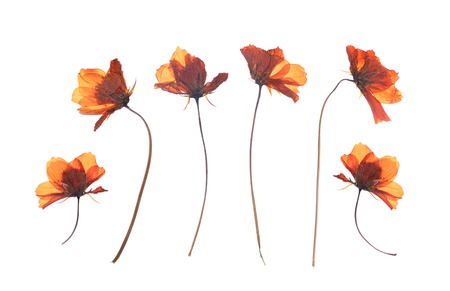 flat pressed dried flower isolated on white background