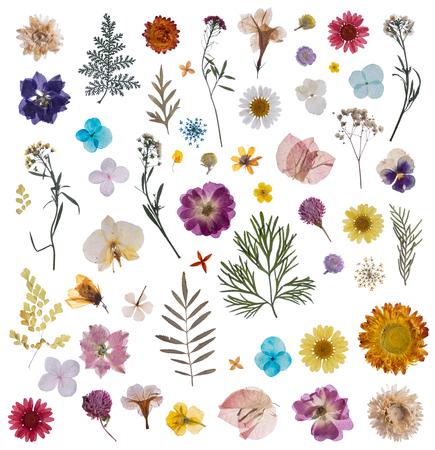 fiore secco pressato piatto isolato su bianco Archivio Fotografico