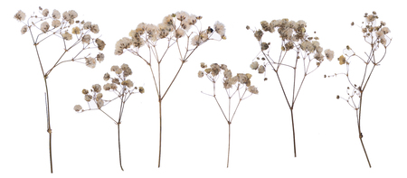 flat pressed dried flower isolated on white