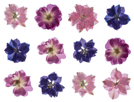 flat pressed dried flower isolated on white 免版税图像