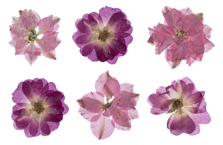 flat pressed dried flower pattern isolated on white background