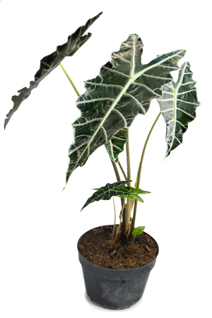 Green and beautiful potted Philodendron Stenolobum plants