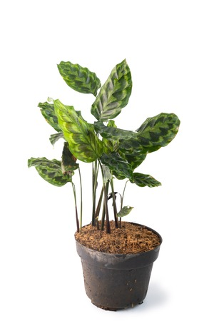 Green and beautiful potted Calathea plants