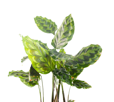 Green leaves of Calathea plants