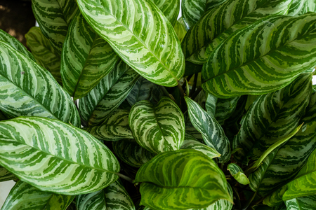 Top view green of beautiful potted Aglaonema plants Standard-Bild - 121639370