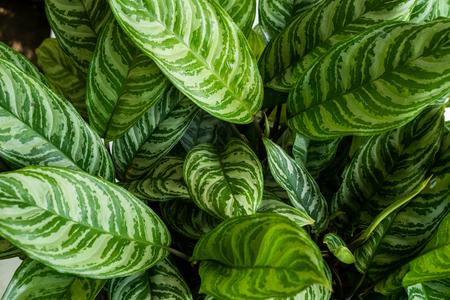 Vista superior verde de hermosas plantas de Aglaonema en macetas