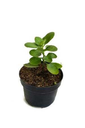 Green of beautiful potted Bryophyllum Pinnatum plants