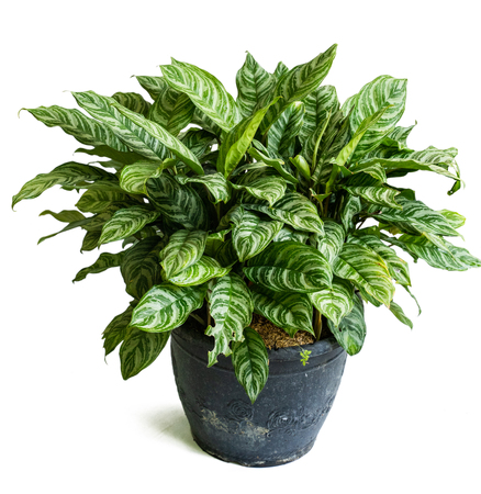 Green of beautiful potted Aglaonema plants Stock Photo
