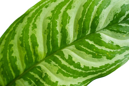 Close up green leaves of Aglaonema plants Stock Photo