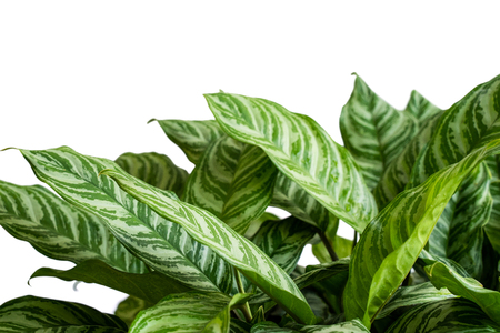 Beautiful and attractive tropical leaves of Aglaonema