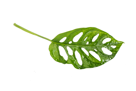 Tropical hollow leaf of Monstera Adansonii