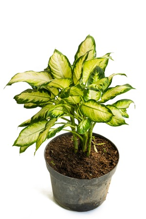 Green yellow and beautiful potted Dieffenbachia Tissue plants