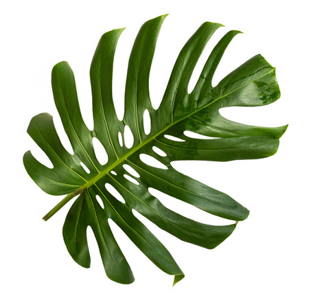 Tropical hollow leaf of Monstera