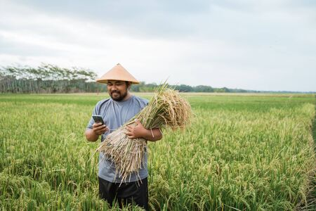 farmer using smartphone while holding a rice grain Banque d'images