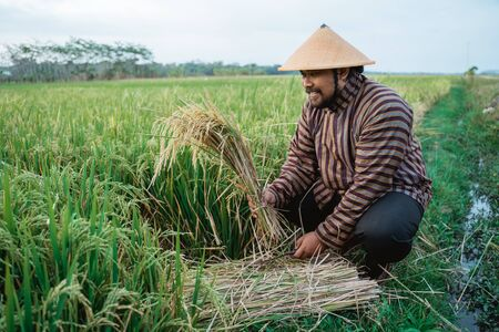 indonesian farmer checking rice grain quality in the field