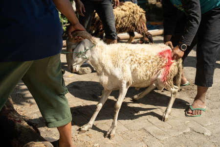 people hold the horns of the goat to be pulled to the slaughterer, goats are sacrificial animals of Eid al-Adha celebration Reklamní fotografie