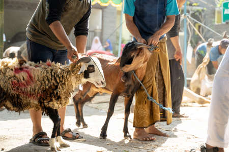 people tie a goat's neck with a rope before it is slaughtered for safe, Eid al-Adha celebrations for Muslims