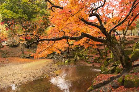 nara park: beautiful maple tree leaves with the river at todaiji temple nara,japan. Stock Photo