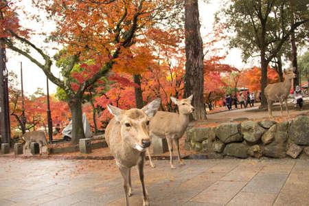 nara park: Naras deer in Todaiji Temple nara,japan.