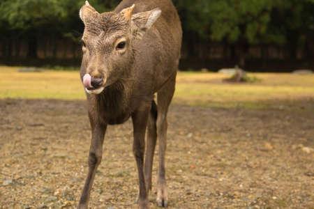 Naras deer in nara park japan. photo