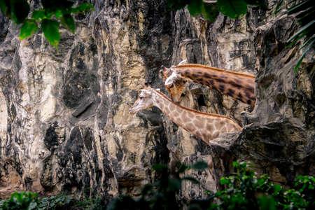 Giraffe couple hide behind the rock mountain. Stock Photo