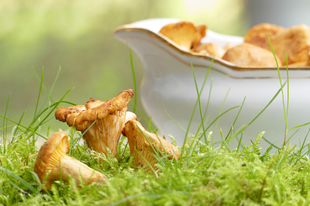 collected German chanterelles with gravy boat and moss for mushroom ragout photo