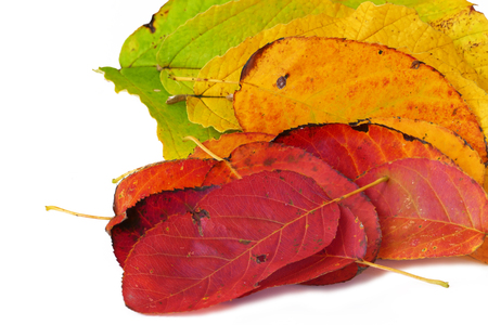 autumn colour: colour fan from autumn leaves, red, orange and green, isolated on white background, close up Stock Photo
