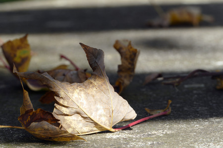 transience: withered leaf on the Street, metaphor for the end of life and transience  in brown and gray Stock Photo