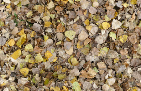 poplar: seamless background texture, autumn leafs of a poplar