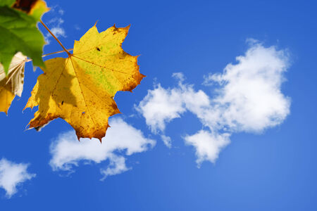 sunny autumn day - yellow golden maple leaf against a sunny blue sky with white clouds photo