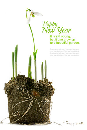 grow up: snowdrop with soil, isolated, growing metaphor, reeting card with sample text on white background, new year 2015 it is still young, but it can grow up to a beautiful garden