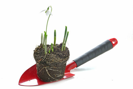 spring gardening, red garden shovel and snowdrop flowers with roots and clod of soil, ready for planting, isolated on white background photo