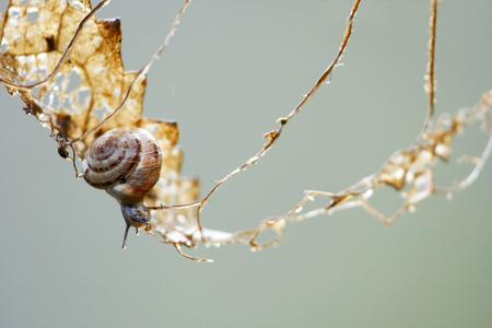 カタツムリの冒険シーン、小さな巻貝は危険な登山ツアーに慎重にゾッと、それ食べる葉に依存し、バランスを背景にコピー スペース、生活の中の 写真素材
