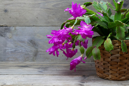 houseplants: Christmas Cactus (schlumbergera) in pink, gray wood background, copy space