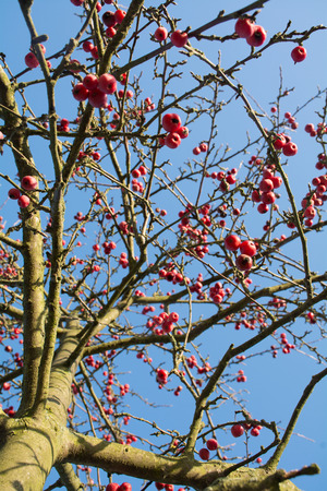 crab apple tree: crab apple tree with red fruits, blue sky
