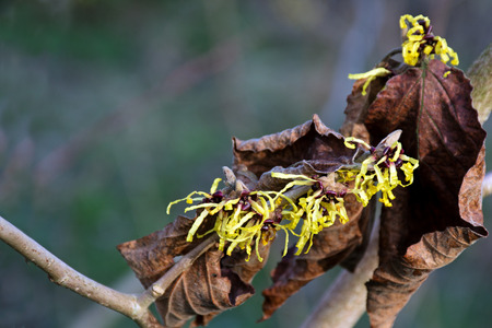 hazel branches: witch hazel in bloom with dry leaves, copy space in the background