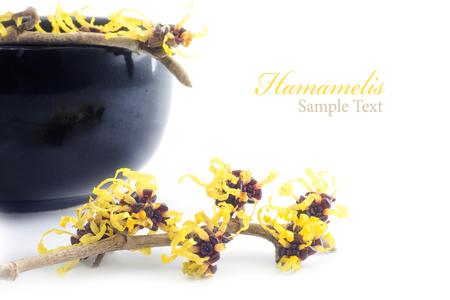 Hamamelis in voller Blüte und Cremetiegel von schwarzer Keramik im Hintergrund, isoliert auf weiss, Beispieltext Hamamelis