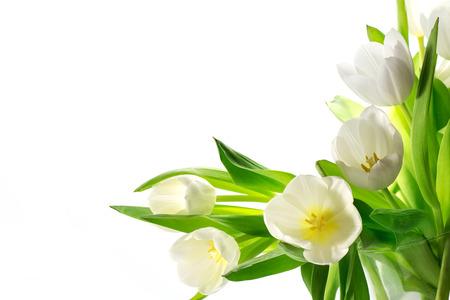 tulip: white tulips corner background isolated on white