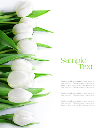 april flowers: tulips in a row, isolated on white, background can be used vertically or horizontally, sample text