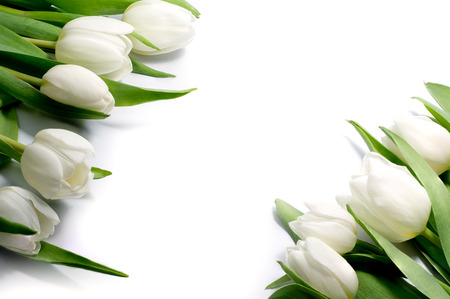 mar: white tulips in two corners, isolated, this background can be separated and each corner can be used separately in all directions