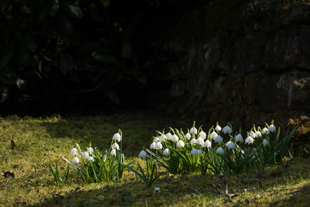 shady: group of early spring snowflake flowers, leucojum vernum, dark shady background with copy space