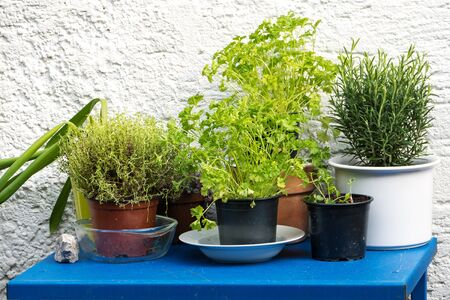 culinary herbs in plant pots growing on a blue table in front of a white plastered wall Stock Photo