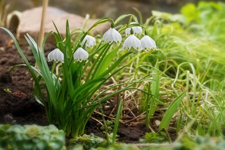 early spring snowflake flowers in march, leucojum vernum, group in a spring bedding photo